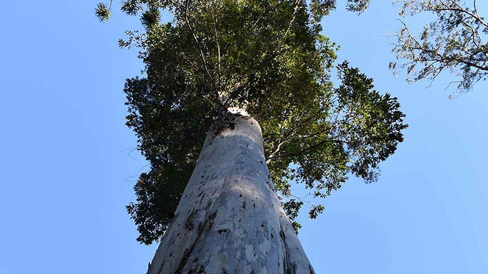 A árvore mais alta da Europa é...