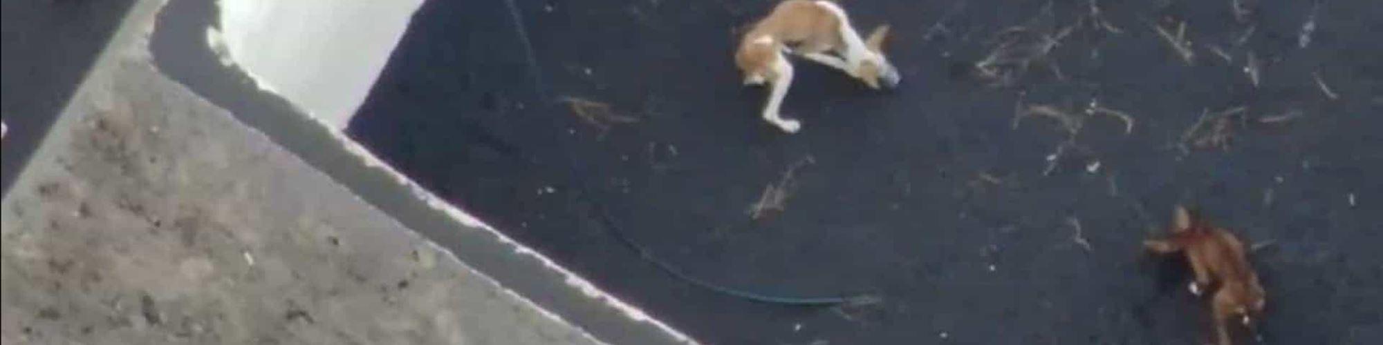 Há cães cercados por lava em La Palma que estão a ser alimentados por drone