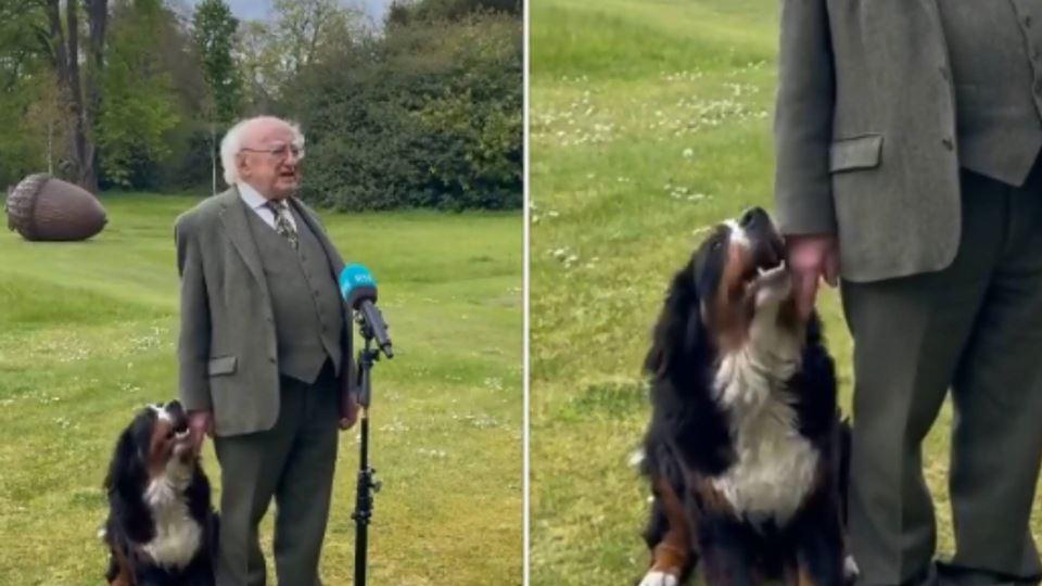 Cão de presidente da Irlanda r...
