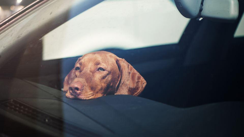 cão no carro