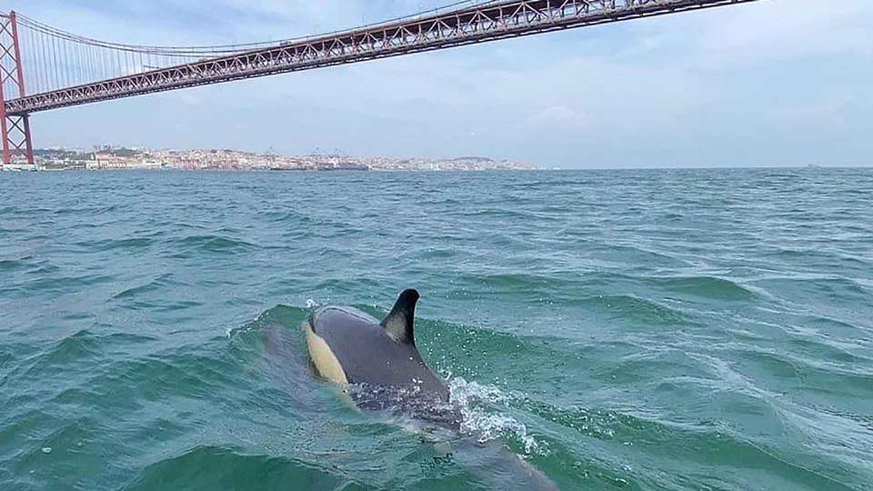Golfinhos regressam ao rio Tej...