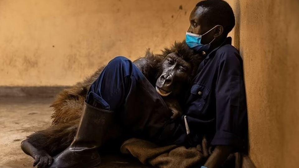 Gorila morre nos braços do tra...