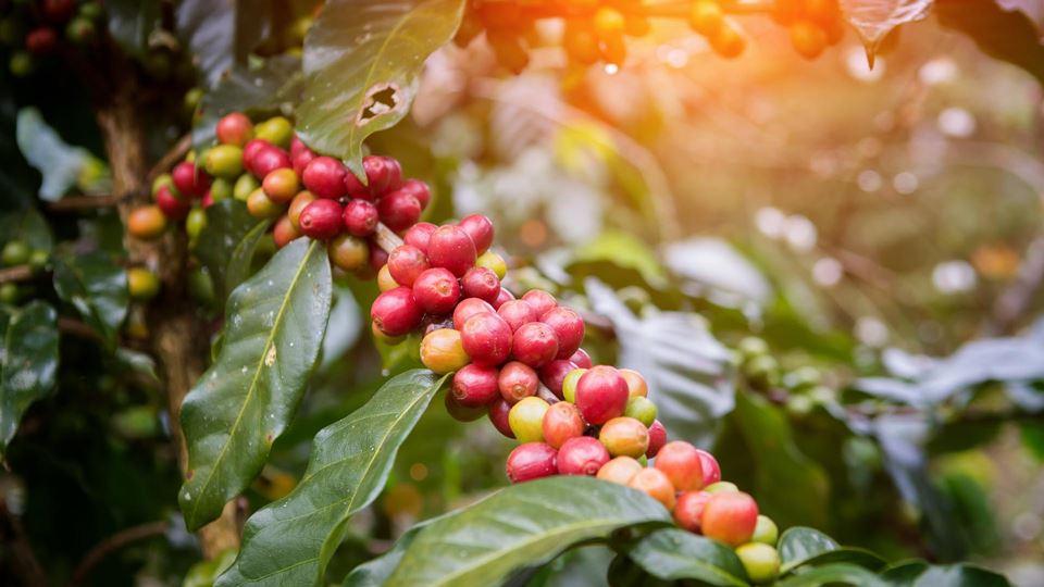 O fruto que originou o café