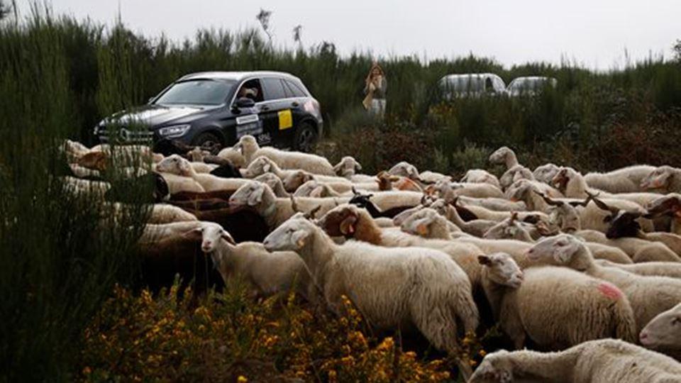 Ovelhas no trajeto