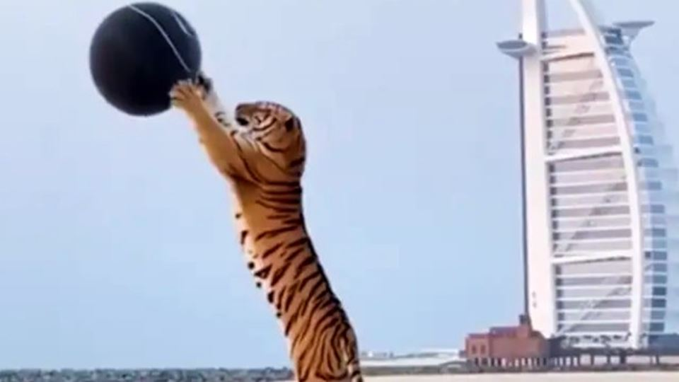 Tigre é usado para revelar sex...