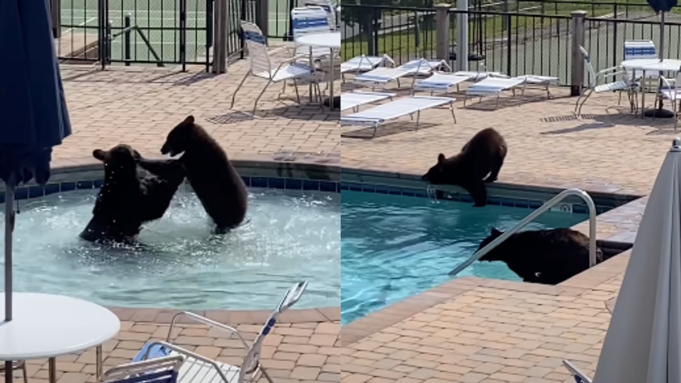 Ursos invadem piscina de hotel...