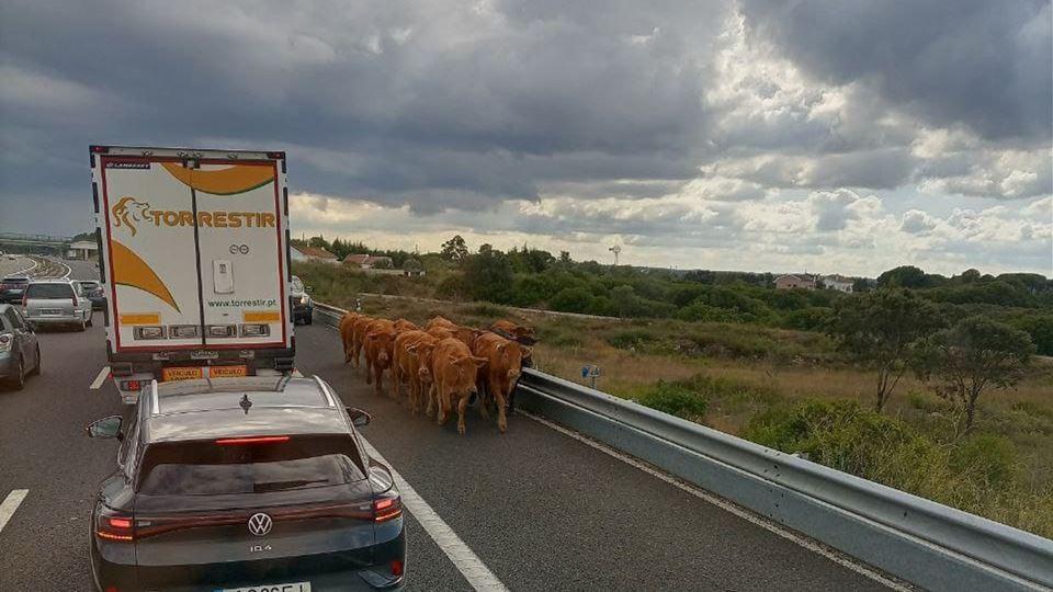 Vacas na A1 provocam paragem d...